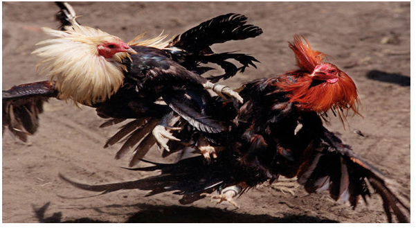 Virginia cock fighting laws
